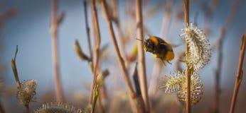 Bumblebee in flight,Bumblebee in harvesting pollen Royalty Free Stock Photo