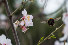 Bumblebee in flight. Bumblebee in early spring. Flying from one flower to another. Taken while walking on island Ciovo in Dalmatia, Croatia Stock Images