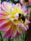 Bumblebee  in flight Royalty Free Stock Images
