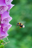 Bumblebee in flight near a flower of digitalis. Bombus stock images
