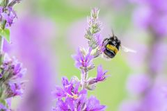 Bumblebee in flight with visible wings movement on. british mead. Bumblebee flying on british meadow in summer full of beautiful violet flowers.Nature details royalty free stock photos