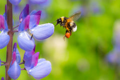 Bumblebee fling. Bumblebee flying next to purple flower royalty free stock photos