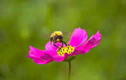 Bumblebee on a flower. The big bumblebee flies and pollinates flowers of the Crimean rose Stock Photos