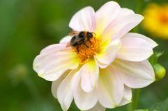 Bumblebee on flower Royalty Free Stock Photos