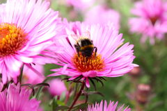 Bumblebee and a flower. Bumblebee collecting nectar in late autumn on the beautiful purple flower Stock Photos