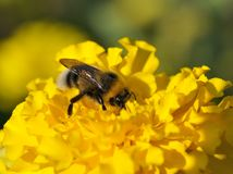 Bumblebee on a flower. Stock Images