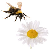 Bumblebee and flower Stock Photos