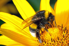 Bumblebee on the flower. Macro of bumblebee on the flower Royalty Free Stock Photos
