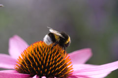 Bumblebee on Flower Stock Image