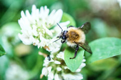 Bumblebee flower Stock Image