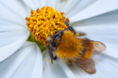 Bumblebee on a flower Stock Image