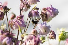 Bumblebee on the flower. Of the green and sunny garden Royalty Free Stock Photo
