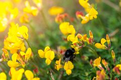 Bumblebee on a flower royalty free stock photography