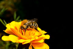Bumblebee on a flower calendula Royalty Free Stock Images