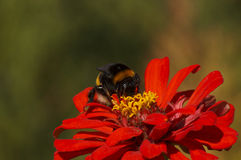 Bumblebee on flower Royalty Free Stock Photo