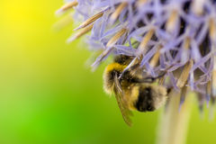 Bumblebee on a flower Stock Images