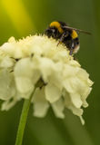 Bumblebee on a flower Stock Photography