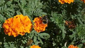 Bumblebee on flower stock footage