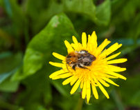 Bumblebee on a flower of common dandelion Royalty Free Stock Images