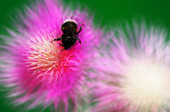 Bumblebee on a flower cornflower Stock Image