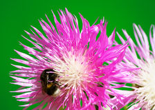 Bumblebee on a flower cornflower Stock Image