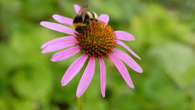 Bumblebee on a flower echinacea. Bumblebee on a flower echinacea closeup. Blurring background stock video footage