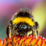 Bumblebee on a flower frontal closeup. Bumblebee sitting on a bright red flower closeup in a square crop Royalty Free Stock Photo