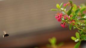 Bumblebee. Flower and  in bumblebee in garden Stock Images