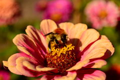 Bumblebee on flower garden Stock Photography