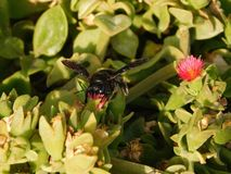 Bumblebee on the flower, Greese royalty free stock photography