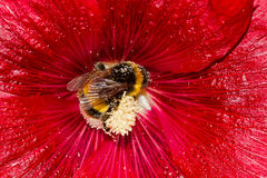 Bumblebee in flower of Hollyhock Stock Photography