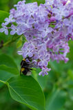 Bumblebee on a flower, the lilac. Stock Image