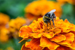 Bumblebee on a flower Royalty Free Stock Image