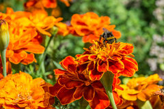 Bumblebee on a flower Royalty Free Stock Photo
