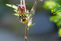 Bumblebee. On the flower - macro Stock Photography