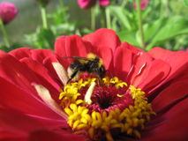 Bumblebee on the flower in macro. Black and yellow bumblebee and red flower stock image