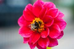 Bumblebee on a flower - macro close-up, pollinates a flower, collects pollen royalty free stock photos