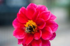 Bumblebee on a flower - macro close-up, pollinates a flower, collects pollen royalty free stock images