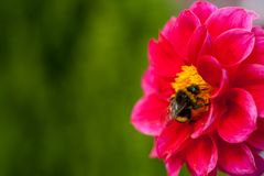 Bumblebee on a flower - macro close-up, pollinates a flower, collects pollen stock photo