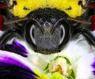 Bumblebee in a flower Royalty Free Stock Photos