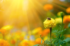 Bumblebee on a flower marigold Stock Images