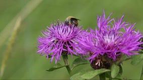 A bumblebee on a flower meadow cornflower stock footage