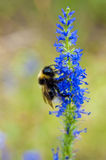 Bumblebee on flower Royalty Free Stock Image