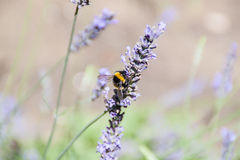 Bumblebee. On a flower. Pollination royalty free stock photos