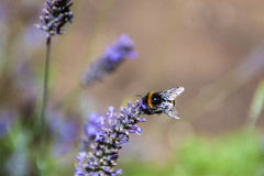Bumblebee. On a flower. Pollination stock photography
