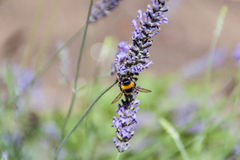 Bumblebee. On a flower. Pollination stock images