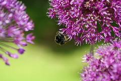 Bumblebee on the flower Stock Photography