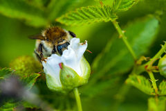 Bumblebee on a flower of raspberry Royalty Free Stock Photo