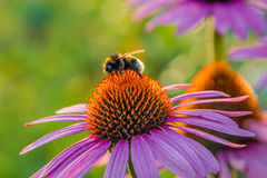 Bumblebee on a flower. Shaggy bumblebee collects a nectar Stock Photos