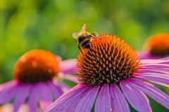 Bumblebee on a flower. Shaggy bumblebee collects a nectar Stock Images